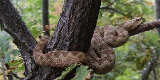 Wandern ohne Sorgen: So schützt ihr euch vor Schlangenbissen - ©Elena Terkel_Wikimedia