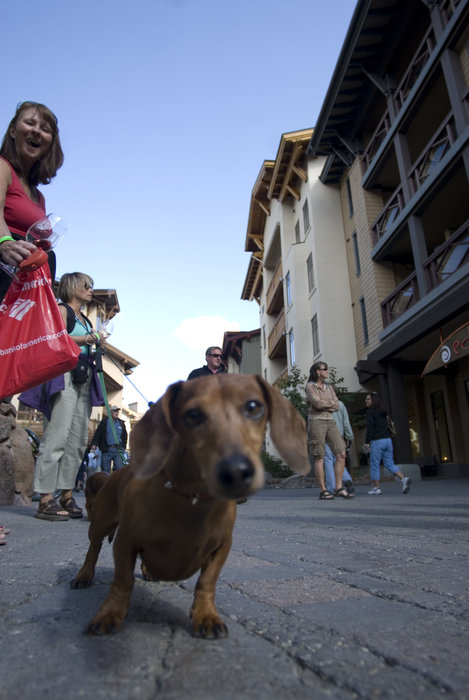 A dog out for a walk at Art Bark Festival at Village at Squaw Valley