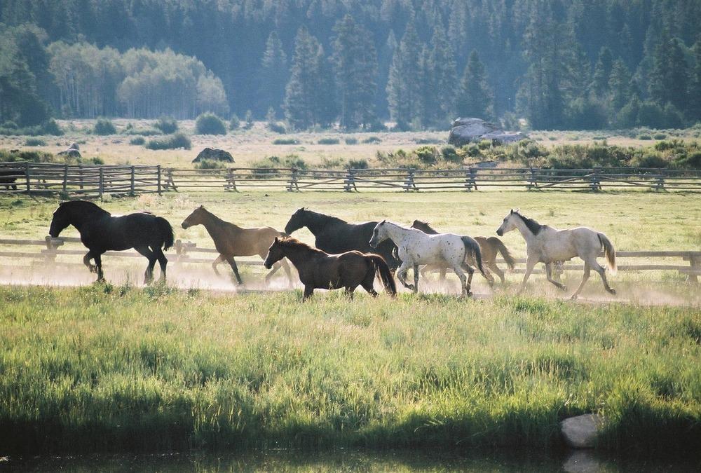 Horses running free near Vista Verde Ranch in Steamboat, Colorado.