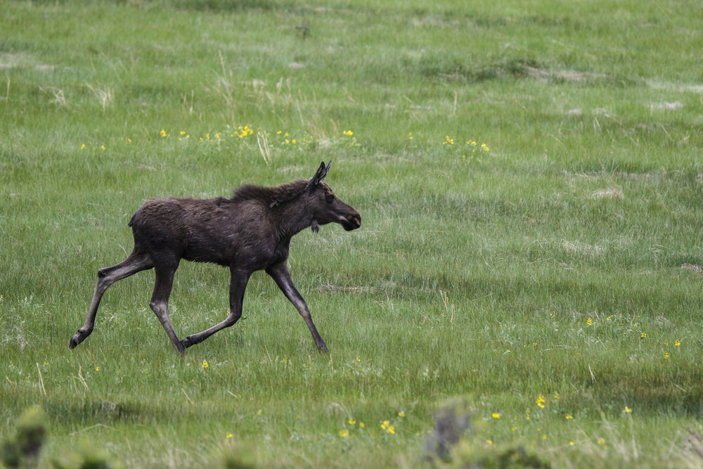 The montane ecosystem of Rocky Mountain National Park provides a perfect habitat for a juvenile moose.  - ©Liam Doran