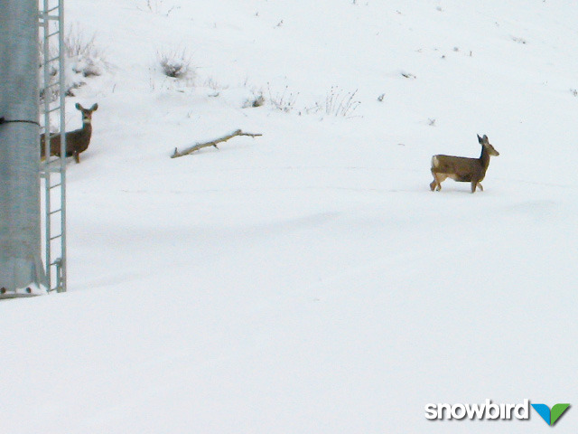 A view of deer in Snowbird, Utah