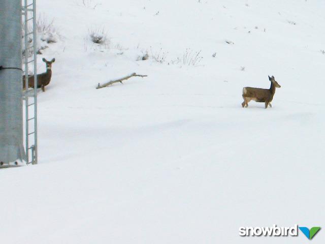 A view of deer in Snowbird, Utah