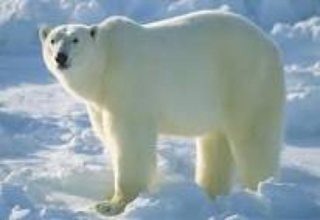 forest rangers captured 600 lb polar bear from the peak of snowbowl today.
