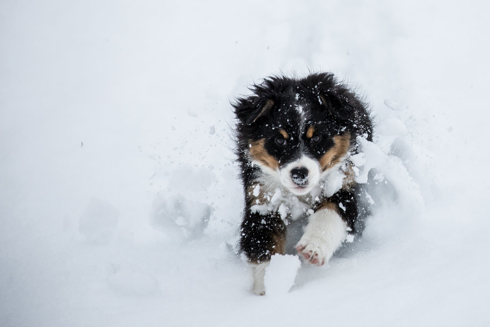More two-month old Roxy puppy, because we just couldn't help ourselves. - © Mitch Winton | Coast Mountain Photography