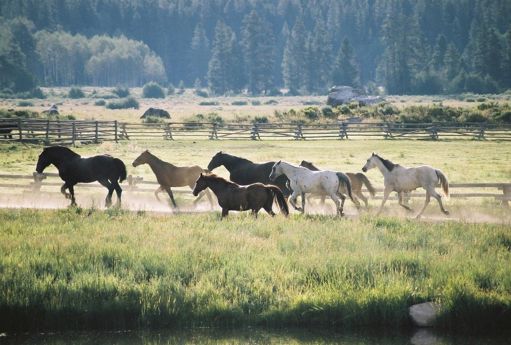 Horses running free near Vista Verde Ranch in Steamboat, Colorado.