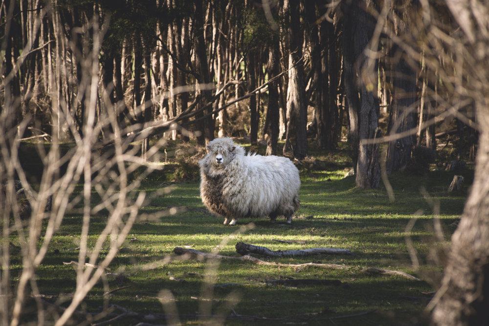 Schafe, überall Schafe. In Neuseeland gibt es zehn Mal so viele Schafe wie Menschen. - © Oreli B.