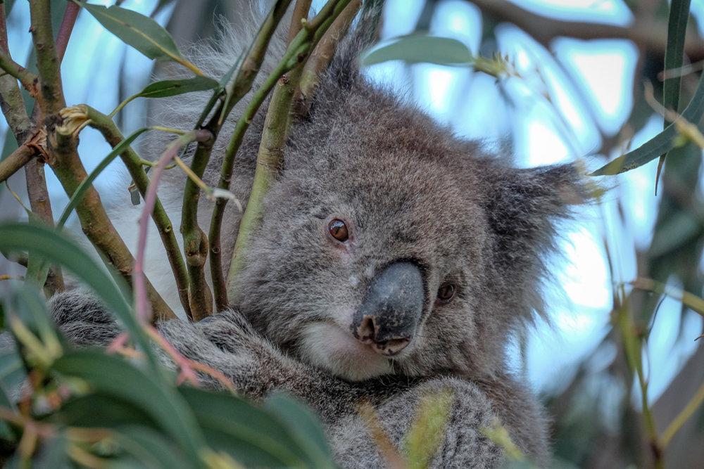 Ein Koala im Great Otway Nationalpark - © Julia Mohr   Florian Reuter