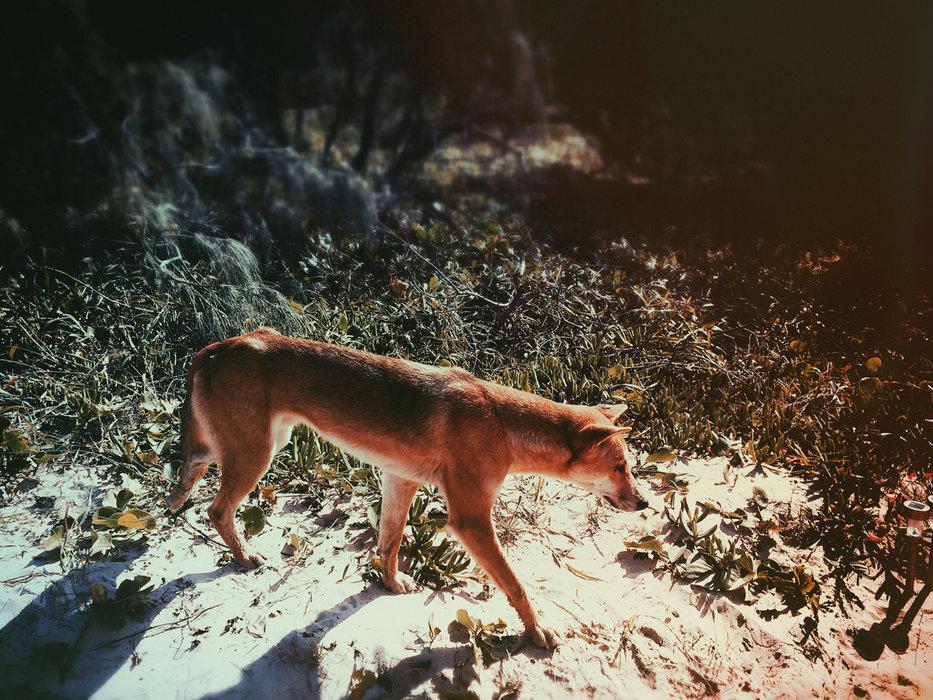 Einer der vielen Dingos auf der Suche nach Futter - © Julia Mohr   Florian Reuter