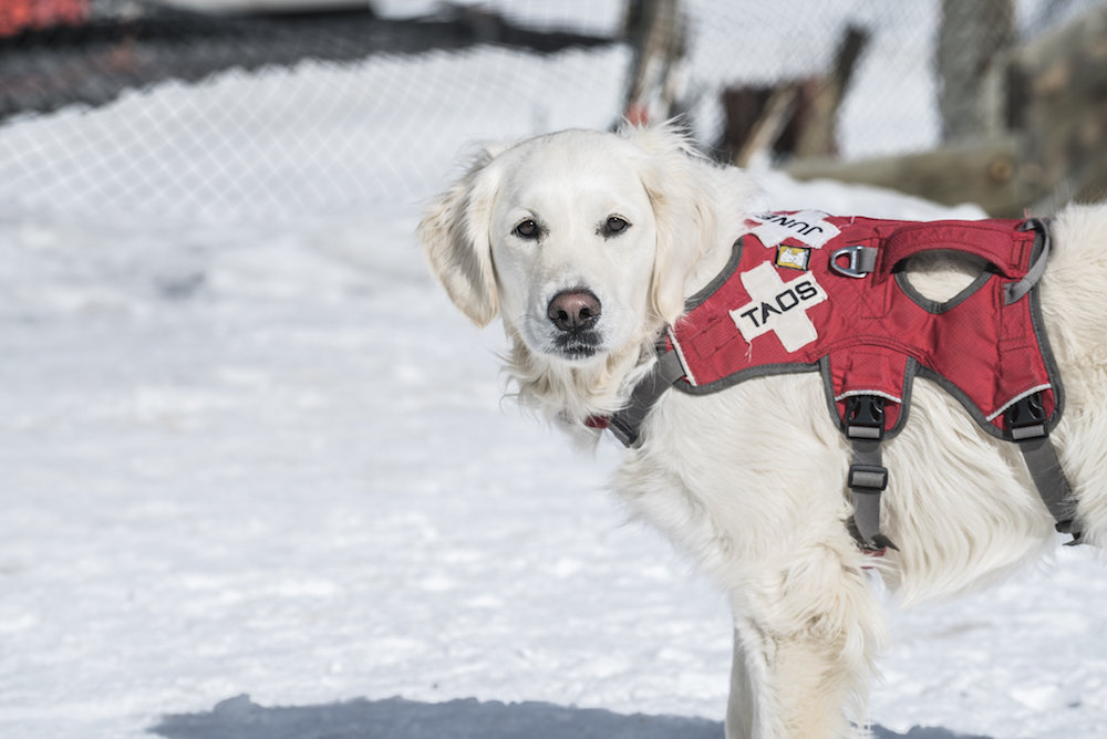 Juniper is all business when it comes to avalanche rescue. - © Taos Ski Valley