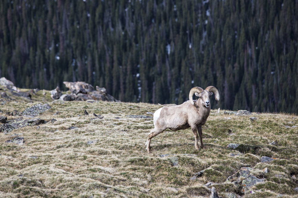 Bighorn Sheep are well adapted to the high alpine tundra around Trail Ridge Road. The park is home to more than 350 sheep, which were nearly extinct at one point. - © Liam Doran