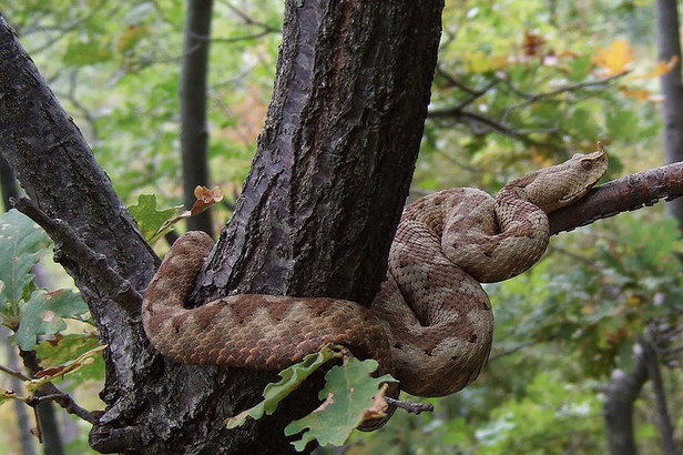 Schlange Hornotter - ©Elena Terkel_Wikimedia