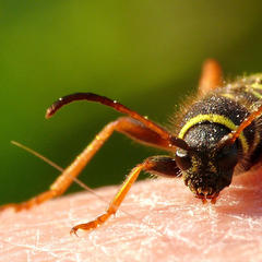 Insekten können eine große Plage sein - © Manfred Hartmann